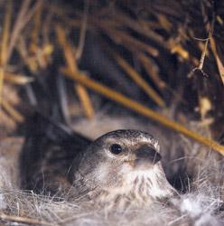 Самка коноплянки сидит в гнезде под крышей сарая упорно, до последнего надеясь остаться незамеченной