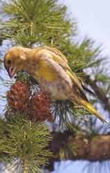 Зеленушка лакомится семенами из шишек лиственницы