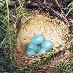 Певчий дрозд может свить гнездо в молодой ёлочке, но беспокоить его нельзя - бросит кладку, не задумываясь!
